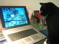 Bubbles - Birdwatching on YouTube (noriko.stardust) Tags: white black bird socks cat photo furry friend funny watching picture bubbles whiskers tuxedo photograph sparrow paws birdwatching handsomecat youtube