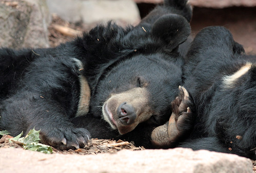 フリー画像| 動物写真| 哺乳類| 熊/クマ| 寝顔/寝相/寝姿|       フリー素材|