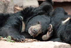 [フリー画像] [動物写真] [哺乳類] [熊/クマ] [寝顔/寝相/寝姿]       [フリー素材]