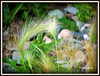 Foxtail Grass (clickclique) Tags: macro nature grass seeds foxtail naturesfinest anythingnature freenature flowerorfoliagesetail