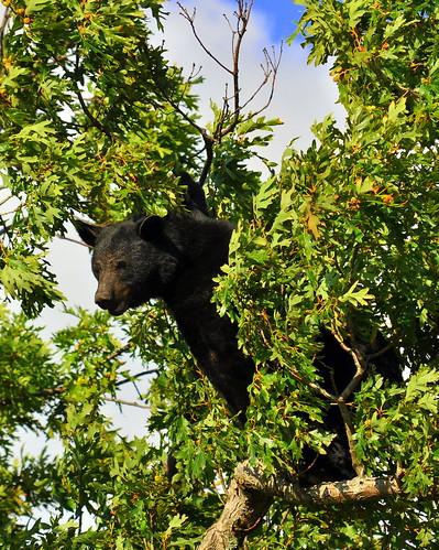 bear_tree