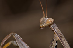 I See You Too (Cory Dalva) Tags: california brown nature mantis nikon bokeh marin praying tan 105mm d90