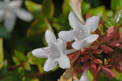 Abelia chinensis 'Grandiflora' (paolo-55) Tags: macro nikon natura soe abelia d300 naturesfinest 105mmvrmicronikkor abeliachinensis