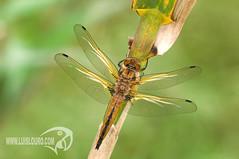 Libellula fulva (Lus Louro) Tags: macro portugal nature nikon wildlife insects planet louro odonata anisoptera drangonflies libellulafulva libluas