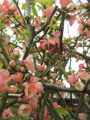 Chaenomeles 'Pink Lady' (wallygrom) Tags: england westsussex mygarden quince pinkflowers eastpreston chaenomeles floweringquince april2010 mygarden2010 chaenomelespinklady