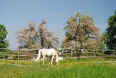 Thurgau, 28.4.10 (ritsch48) Tags: switzerland pferd schimmel thurgau roggwil