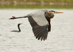What's Better Than a Flying GBH Shot? (Silverbird_4) Tags: animals flying inflight pond wildlife cormorant greatblueheron gbh bolinbrookillinois