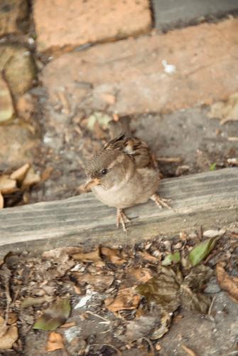 Sparrows at Yats