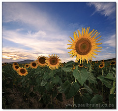 Sunflower Sunset (Panorama Paul) Tags: flash sunflowers soe durbanville novideo nohdr spesbona shieldofexcellence nikfilters anawesomeshot vertorama nikond300 wwwpaulbruinscoza