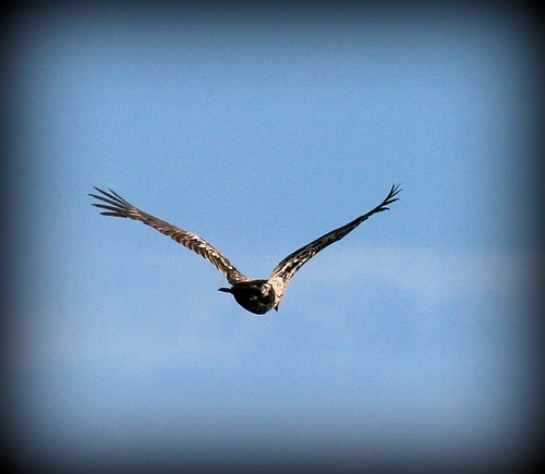 best juvenile eagle in flight (2)