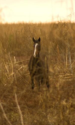 Paynes Prairie Wild Horse