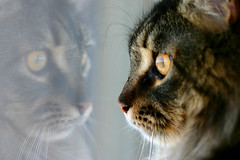 Reflecting On The World Outside (Jay:Dee) Tags: friends pet house reflection cat grandmother domestic mainecoon pussycat moggy purebred moggie bigmomma feliscatus felisdomestica bestofcats photofaceoffplatinum pfogold motmfeb09 thepinnaclehof tphofweek7 motmaug09 motmwinner motmnov12