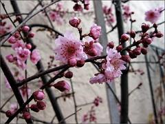 Flowering plum tree, in February