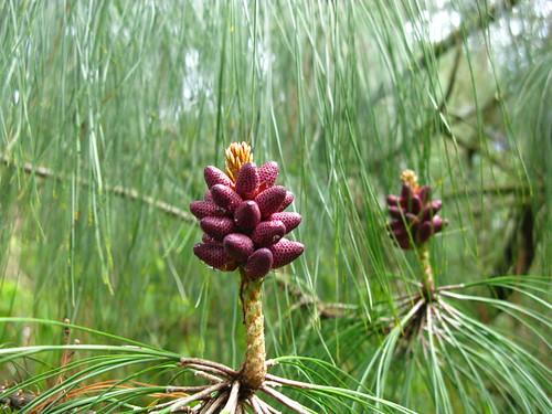 Pinus oaxana