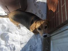 Cleo (Ludgonious) Tags: dog sun snow beagle