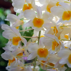White with Yellow Eyes (StGrundy) Tags: atlanta plants usa white orchid flower detail green floral colors leaves yellow closeup garden georgia botanical thailand petals cambodia unitedstates blossom bokeh south clusters naturallight noflash midtown explore southern orchidaceae squareformat tropical bloom dendrobium laos dappled atlantabotanicalgarden blooming fuquaorchidcenter explored dendrobiumfarmeri grapelike nikond80 aperturef80 focallength44mm nikkor1855mmf3556gvr exposure0017sec