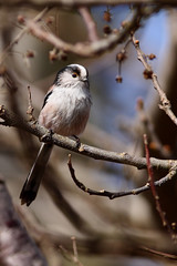 Long-tailed tit (swsmithphotography) Tags: nature birds digital bedfordshire longtailedtit aegithaloscaudatus naturelovers rspb ef400mmf56l canonef400mmf56lusm canon40d sandylodge