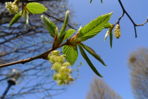 Spring leaves and catkins