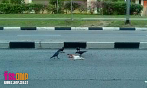 Disturbing to see crows feast on roadkill