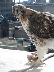 Hawk outside our office window