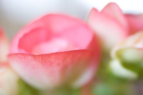 begonia petal