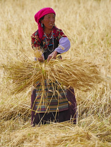 Gonkha, Tibet, harvest time - Photo : reurinkja