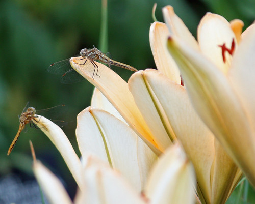 Two dragonflies on daylilies