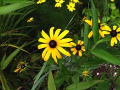 black eyed susan in the rock garden (BethMay) Tags: flower yellow blackeyedsusan