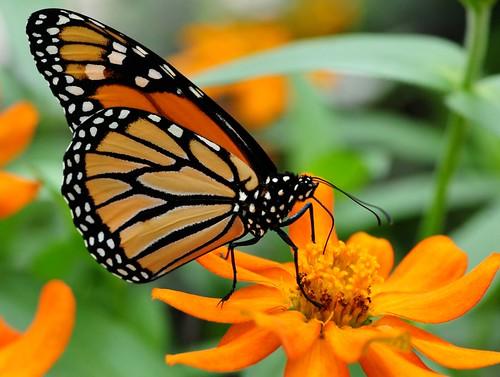 butterflies-Brooksde - 32