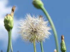 Sometimes a weed is just as beautiful as a rose (Melissa Banaszak) Tags: flowers blue summer sky beauty dandelions