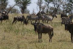 Wildebeests and zebras (Soaring Flamingo - Safari & Trekking in TZ) Tags: africa tanzania safari zebra serengeti wildebeest serengetinationalpark soaringflamingo wwwsoaringflamingocom