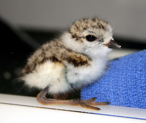 Piping%20plover%20chick