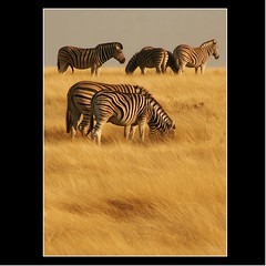 'SEI ZEBRE' (cisco image ) Tags: so