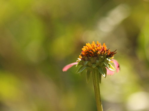 last days of the coneflower...