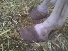 Chronic Laminitis 1