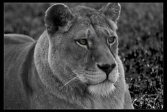 Big Cat (David J Carr) Tags: animals lion d200 cs3 29809 70300mmvr flickrbigcats