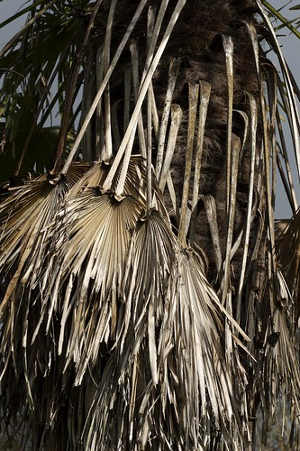 Antrim Palm