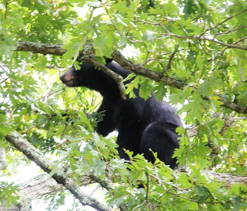 Black Bear - Cades Cove