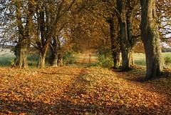 Autumn (Streetflickr Sweden) Tags: autumn trees colors leaves landscape skne avenue scania all minoltaamount yddingen