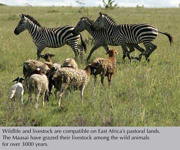 Kitengela plains wildlife and livestock