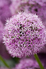 33917 (Clive Nichols) Tags: bulb chalk purple sandy limestone onion allium aflatunense clivenichols flickrbowls