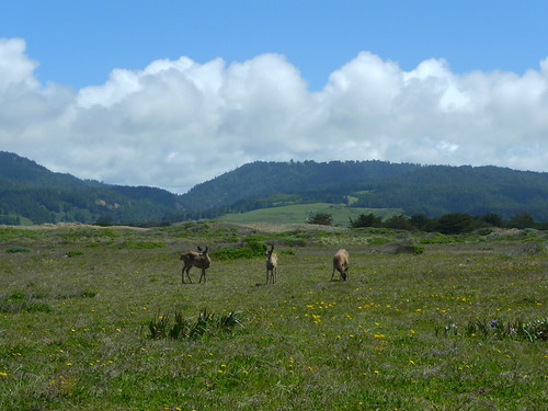 Deer at Manchester Beach