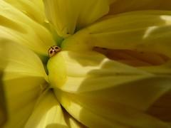 Beetle nuzzling a dahlia