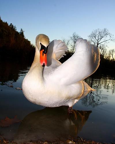 Swan posing - Winetasting in Napa