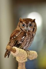 Screech Owl (Apryl Wiese) Tags: bird raptor owl avian screechowl