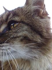 Jan 20 2009 (ccox888) Tags: cats tigger twitter365