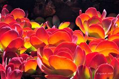 Honolulu Reds (dyoshida) Tags: oahu vibrant honolulu d300 tantalusdrive dyoshida