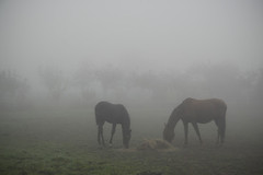 080926_DSC_0510_Exmes (NathalieSt) Tags: horse france fog cheval brouillard bassenormandie exmes