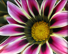 What's this ... a Bo Photo!!! (☜✿☞ Bo ☜✿☞) Tags: garden purple flower macro haribo canong9 platinumheartaward oteospermum mygearandmesilver mygearandmegold mygearandmeplatinum flickrexplore explore flickr