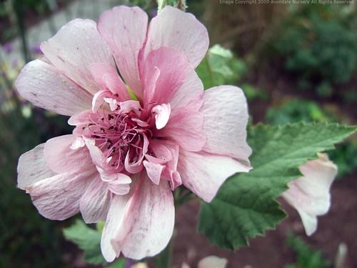 ALCALTHAEA suffrutescens 'Parkfrieden'